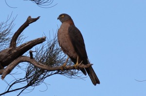 Brown Goshawk