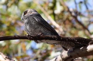 Owlet Nightjar