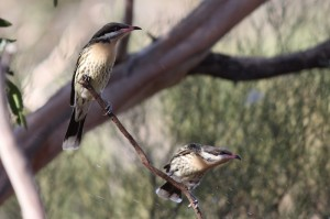 Spiny-cheeked Honeyeaters