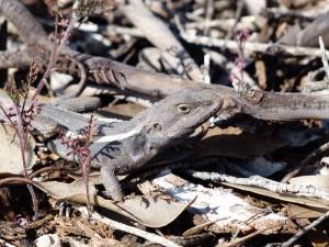 Nobby Lizard