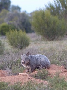 Southern Hairy-nosed Wombat